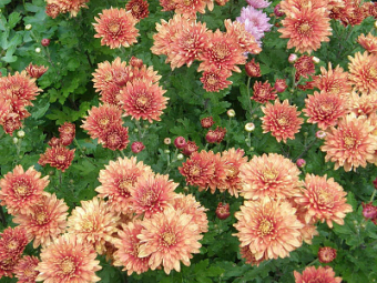chryzantéma, listopadka